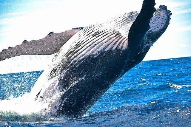 Balinaların Yüzgeçleri