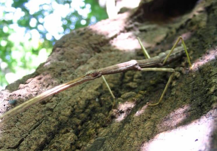 Çubuk Böceği