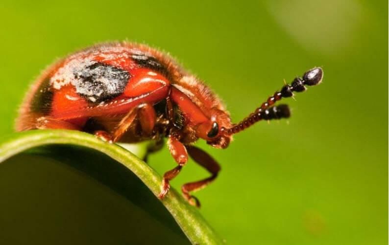 Uğur Böceği Taklit Böceği