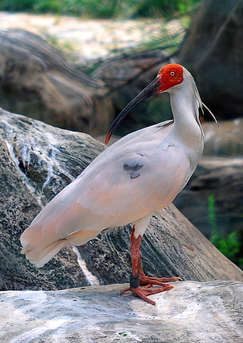 Tepeli Aynak (Japon Ibis)
